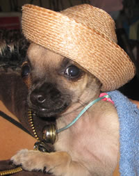 Pabo mi chihuahua mascota
